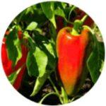 Výtažek z papriky seté