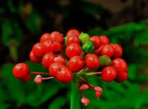 Extrakt panaxového listu ženšenu