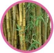 Bambus obyčejný