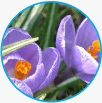 Extrakt z květů šafranu