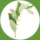 Šalamounova rostlina