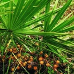 Extrakt Saw palmetto